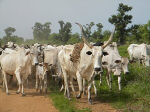 If Macban really cared about its members it would source Islamic finance and use the loans to open mega cattle ranches