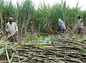 Nigeria's plans to expand sugar production get a boost as Flour Mills raise output by 250,000 tonnes