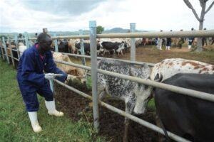 Agriculture ministry refuses to scrap cattle grazing routes saying not all pastoralists can afford ranching