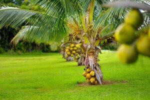 Lagos State plans to turn coconut trade into a sector that generates over $850m a year