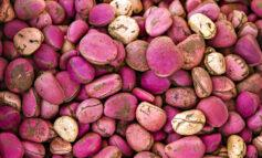 Were I Nigeria's agriculture minister, I would insist that a Kolanut Industry Bill be debated alongside the Petroleum Industry Bill