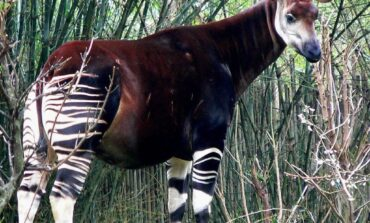 I would like to see the Southern Governors Forum follow up their recent actions on open grazing and VAT with the creation of an Okapi Nature Reserve