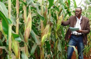 Nigeria approves genetically modified maize variety developed by ABU Zaria researchers